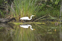 Egret and reflection in the bayou. A lone egret in the bayou.  Reflection Stock Photos