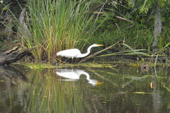 Egret and reflection in the bayou. A lone egret in the bayou.  Reflection Royalty Free Stock Photo