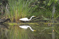 Egret and reflection in the bayou. A lone egret in the bayou.  Reflection Royalty Free Stock Images