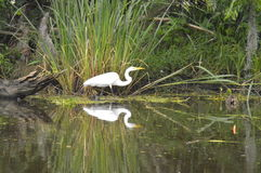 Egret and reflection in the bayou. A lone egret in the bayou.  Reflection Royalty Free Stock Photos