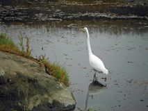 Egret Reflection. In Cayucos, California Stock Images
