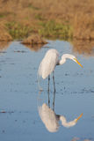 Egret Reflection Fishing. A great egret reflected in shallow water while feeding Stock Photos