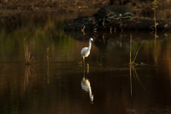 Egret And Reflection. Little Egret with its reflection near dusk Royalty Free Stock Photography