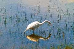 Egret Reflection picture. Reflection/ Picture water Stock Photography