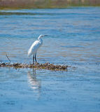 Egret reflection. White egret reflected in the water on a pond Royalty Free Stock Photography