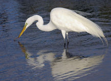 Egret Reflections Stock Photography
