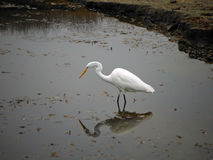 Egret Reflections Royalty Free Stock Photos