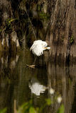Egret Reflections in the Swamp Stock Image