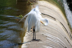 Egret resting. An egret resting on a dam Royalty Free Stock Images