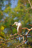 Egret Resting on Tree Branches