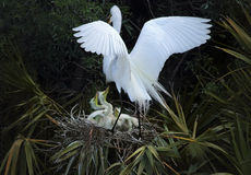 Egret returning to its nest of babies in central Florida. Royalty Free Stock Image