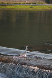 Egret in river stock photography
