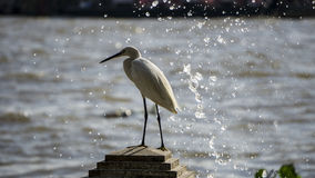 Egret river side Stock Photography