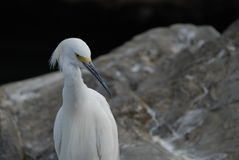 Egret on rock Stock Photo