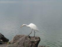 An egret on a rock Stock Photos