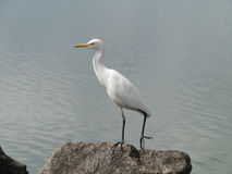An egret on a rock Stock Photo