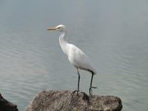 An egret on a rock Stock Photo