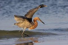 Egret rojizo Imágenes de archivo libres de regalías