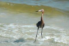 Egret rojizo Imagen de archivo libre de regalías