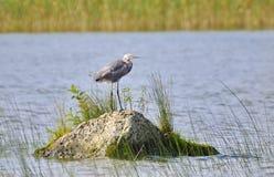 Egret rojizo foto de archivo libre de regalías