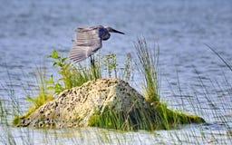 Egret rojizo imagen de archivo