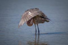 Egret rojizo no maduro, joven imagen de archivo libre de regalías