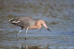 Egret rojizo que acecha su presa foto de archivo