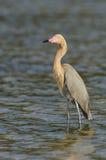 Egret rojizo, rufescens del Egretta fotos de archivo