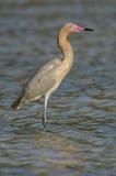 Egret rojizo, rufescens del Egretta imagen de archivo libre de regalías