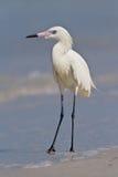 Egret rojizo (rufescens del Egretta) imágenes de archivo libres de regalías