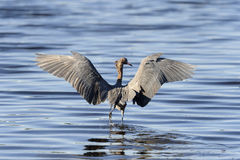 Egret rojizo, rufescens del egretta imágenes de archivo libres de regalías