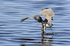 Egret rojizo, rufescens del egretta foto de archivo