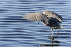 Egret rojizo, rufescens del egretta fotos de archivo libres de regalías