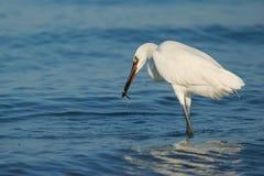 Egret rojizo (rufescens del Egretta) Imagen de archivo libre de regalías