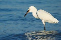 Egret rojizo (rufescens del Egretta) Imagen de archivo