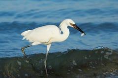 Egret rojizo (rufescens del Egretta) Foto de archivo