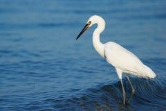 Egret rojizo (rufescens del Egretta) Foto de archivo libre de regalías