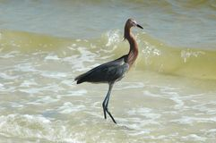 Egret rossastro Fotografia Stock