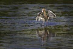 Egret rossastro Fotografia Stock Libera da Diritti