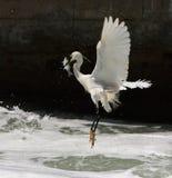 egret ryba dostawać Obrazy Royalty Free