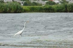Egret rzeką fotografia stock