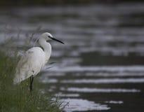 Egret stock image