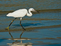 Egret on sea shore. White Egret on sea shore searching for fish Stock Images