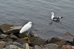 Egret and Seagull on Rocks. White egret bird Royalty Free Stock Image