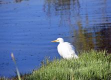 Egret on the shore royalty free stock photo