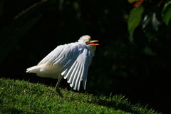 Egret shrugging Royalty Free Stock Photos