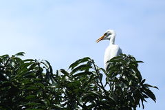 Egret sitting on mango tree Royalty Free Stock Images