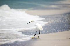 Egret Snowy испытывая воды Стоковое Изображение RF