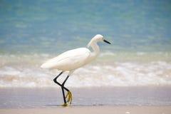 Egret Snowy идя на пляж Стоковое Изображение