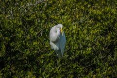 Egret Snowy между растительностью Стоковые Фотографии RF